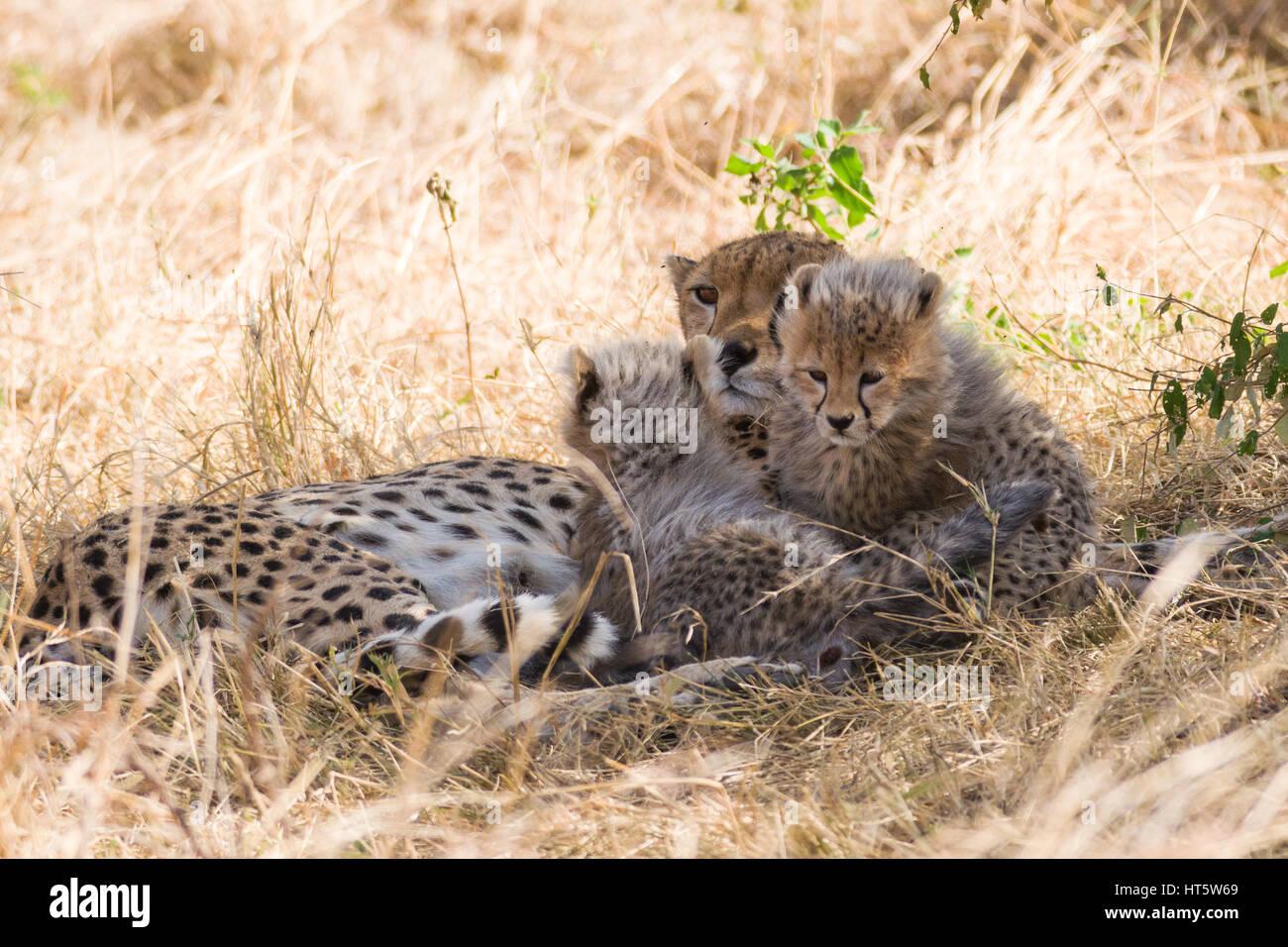 Ghepardo femmina in appoggio in erba secca con baby cubs (Acinonyx jubatus), il Masai Mara riserva nazionale, Kenya, Immagini Stock