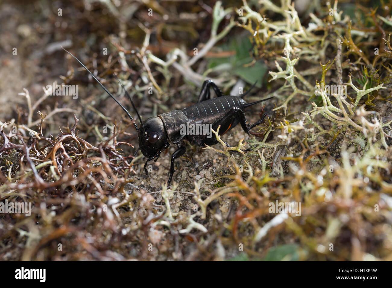 Feldgrille, larve, Nymphe, Feld-Grille, calandra, Gryllus campestris, campo cricket, calandra, Grillen, Gryllidae, Immagini Stock