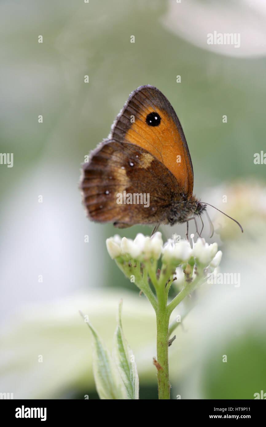 Gate Keeper farfalla su un fiore bianco. Immagini Stock