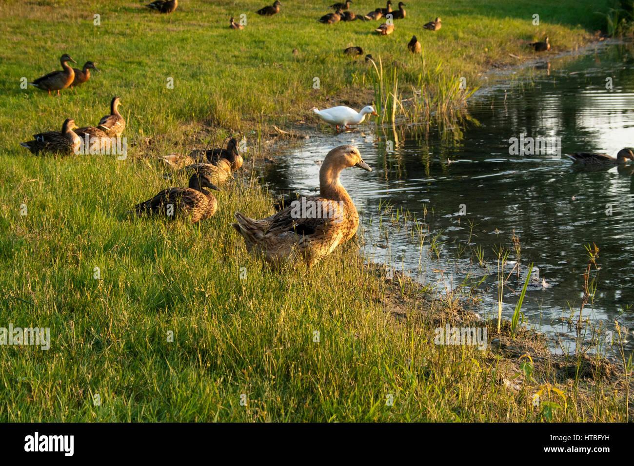 Una famiglia di anatre lungo un stagno di riva Immagini Stock
