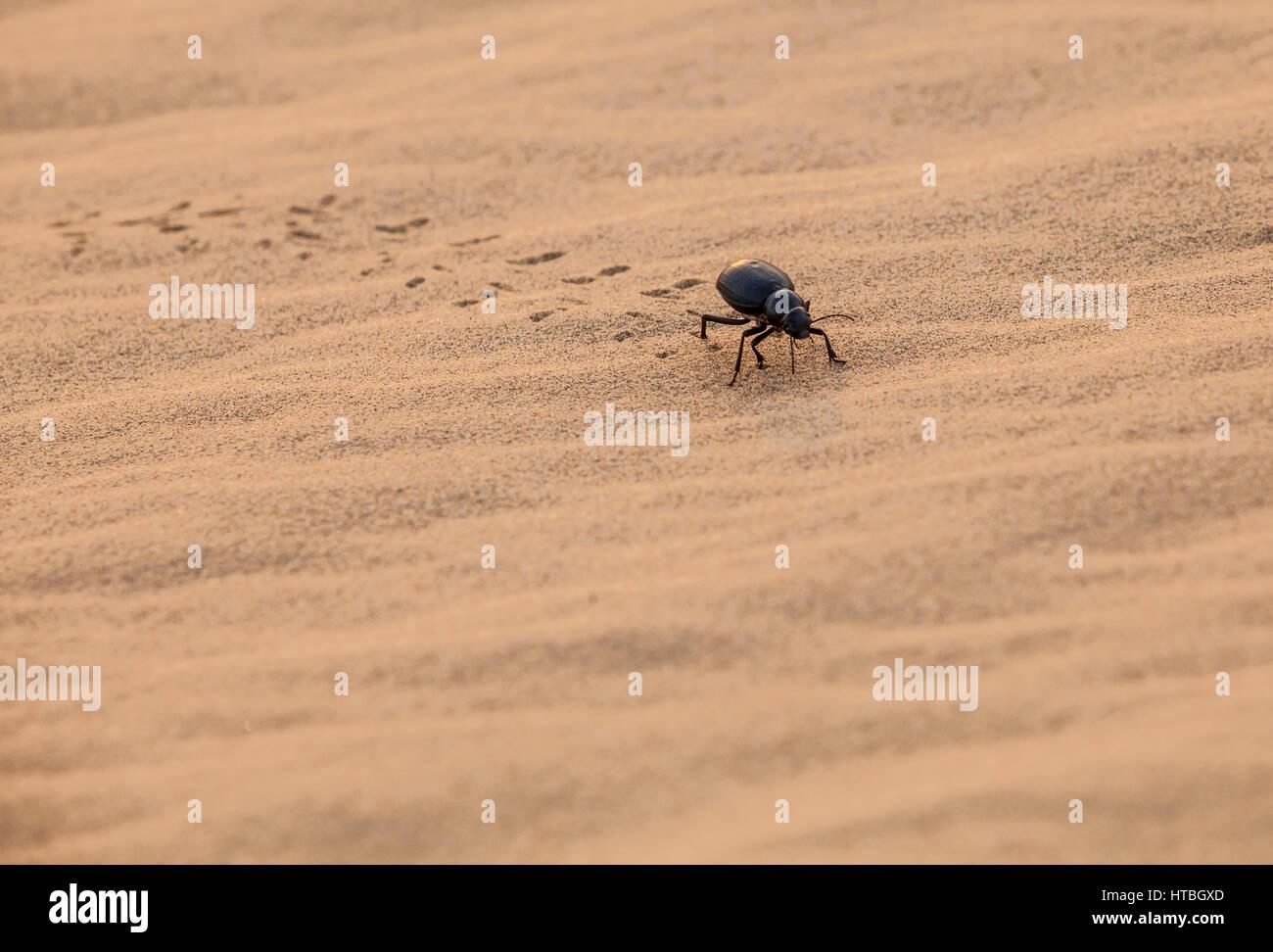 Un coleottero nero strisciare nella sabbia del deserto di Thar, Rajasthan, India. Immagini Stock