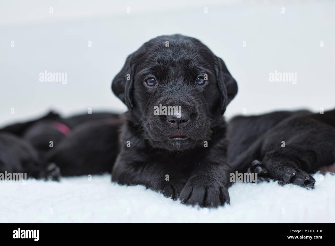 Il Labrador nero cuccioli Immagini Stock