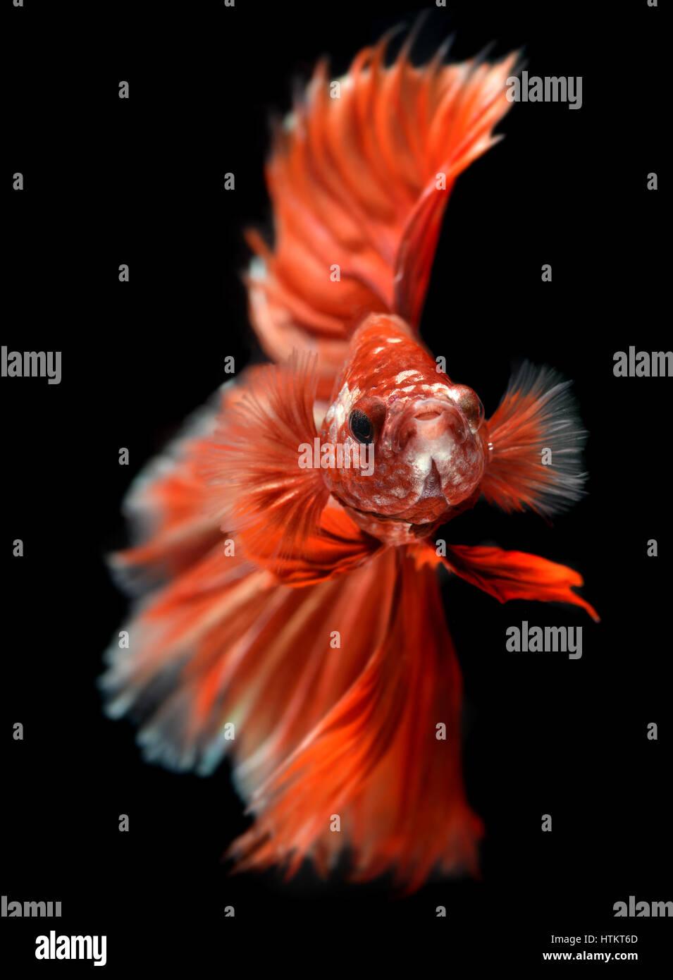Rosso dorato vacillare colorati di Betta Saimese lotta contro la pesca la bellezza e la libertà in sfondo nero Immagini Stock