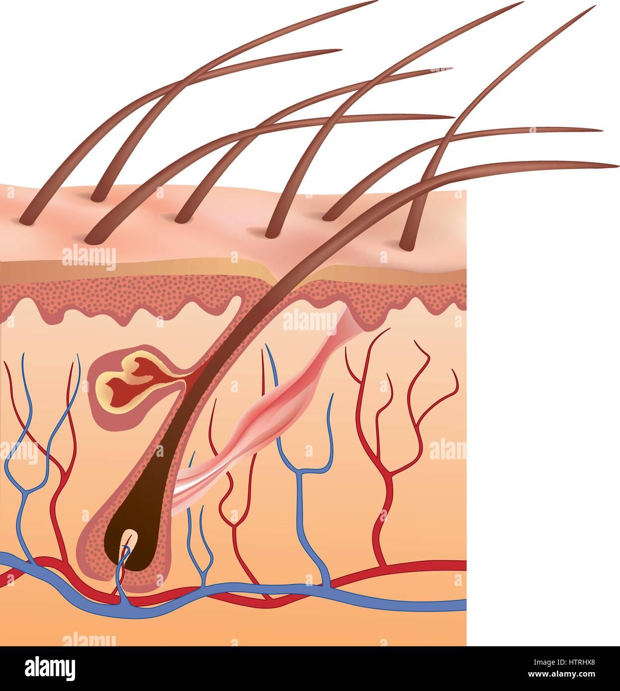 La pelle umana e la struttura dei capelli. segno anatomico. cure di bellezza illustrazione isolato Immagini Stock