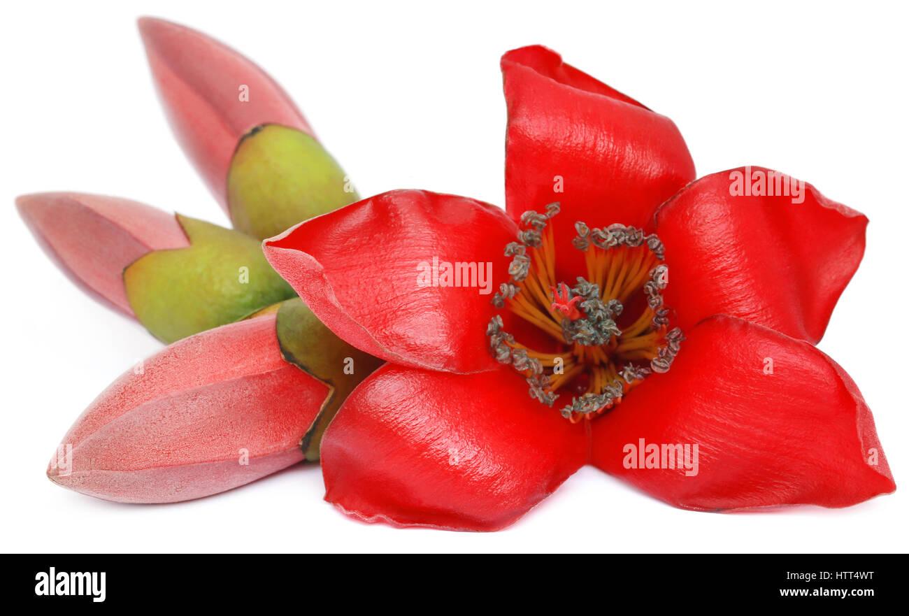 0cfa69cdf3 Bombax ceiba o seta fiori di cotone su sfondo bianco Foto & Immagine ...