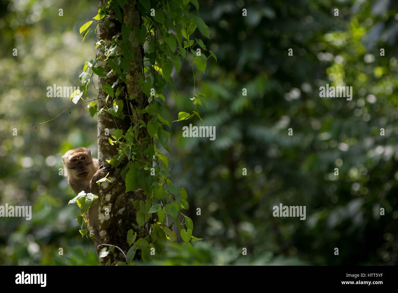 Scimmia macaco si guarda intorno un tronco di albero è arrampicata. Immagini Stock