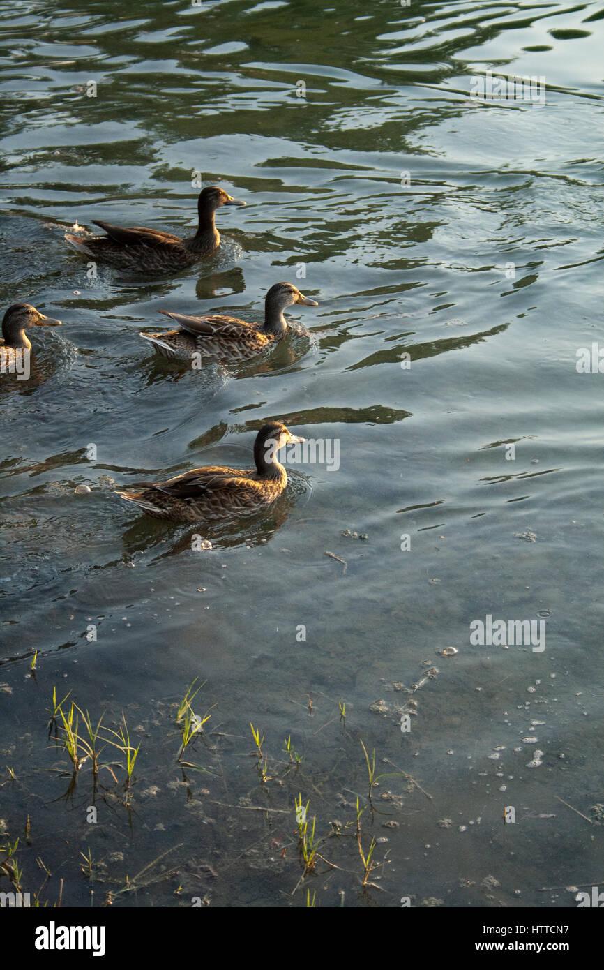 Un gruppo di anatre galleggianti in un stagno Immagini Stock