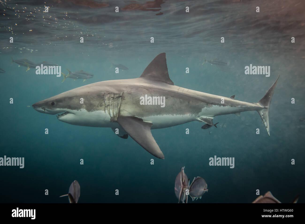 Il grande squalo bianco (Carcharodon carcharias) Immagini Stock