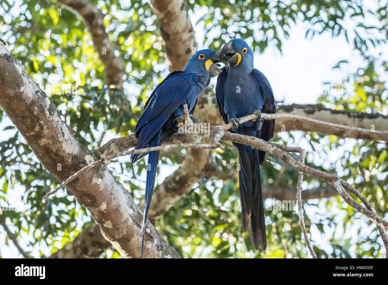 Coppia accoppiata di Giacinto Macaws mostrando affetto come essi pesce persico in una struttura ad albero nella Immagini Stock