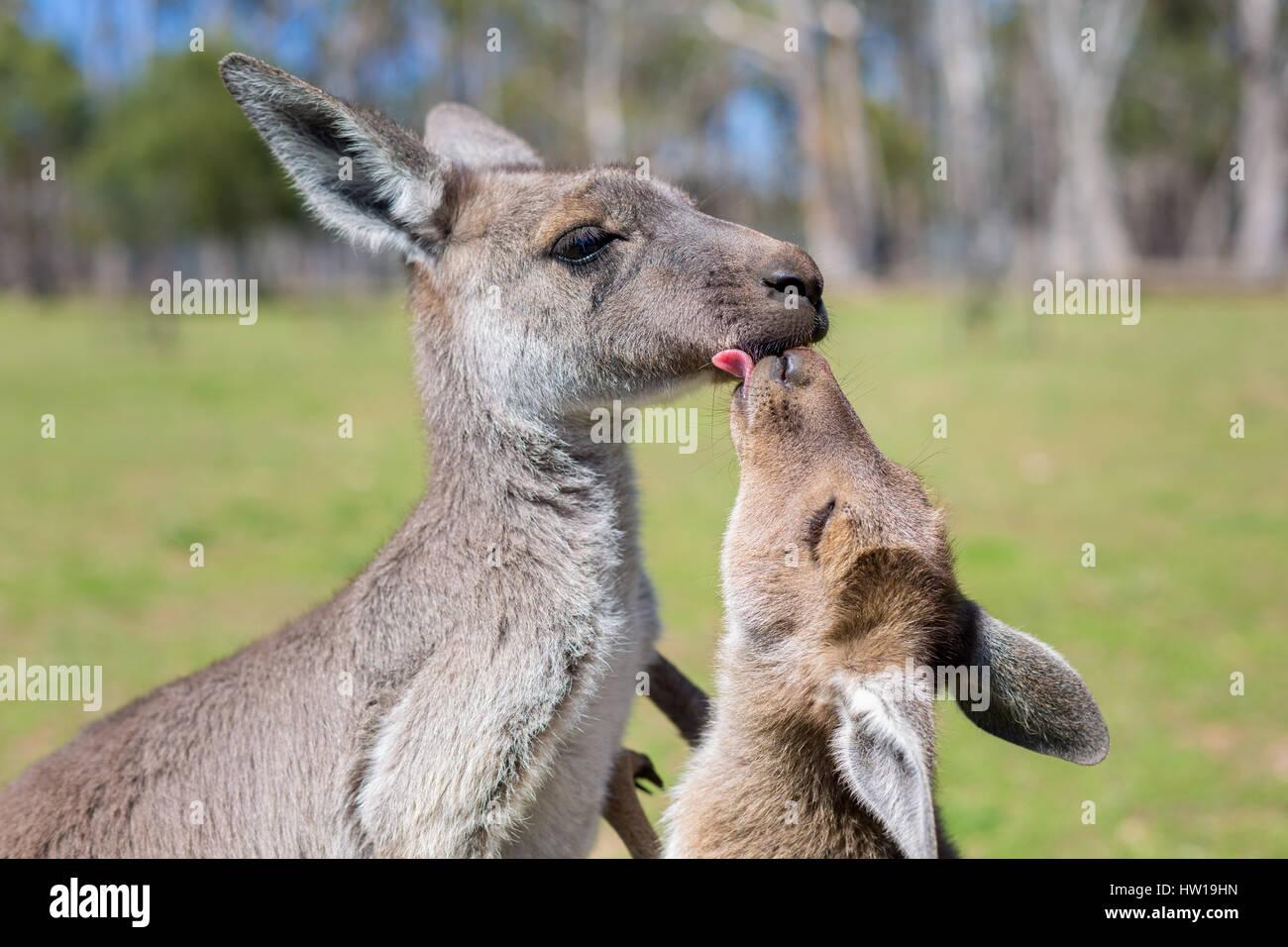 Western-grigio Canguro (Macropus fuliginosus) Immagini Stock