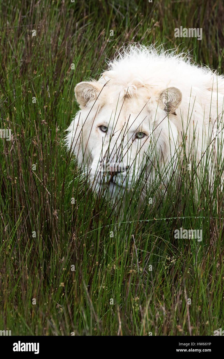 White Lion, Sud Africa, ( Panthera Leo Krugeri ); Tenikwa Wildlife consapevolezza, centro di Plettenberg Bay in Immagini Stock
