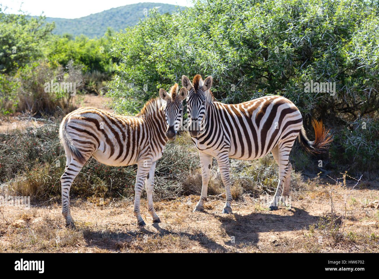 Zebre - Coppia di zebre, pianure zebra, Equus quagga - concetto di amore animale, animali in amore; Sud Africa Immagini Stock