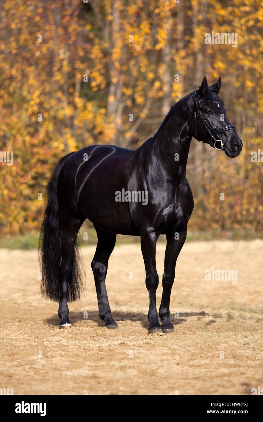 Cavallo nero ritratto esterno colorato con foglie di autunno in background Foto Stock