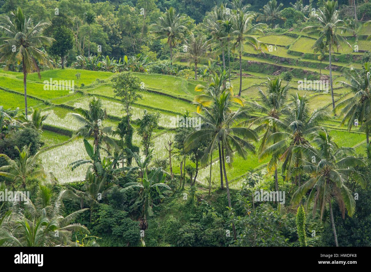 I campi di riso vicino a Senaru, Lombok, Indonesia Immagini Stock