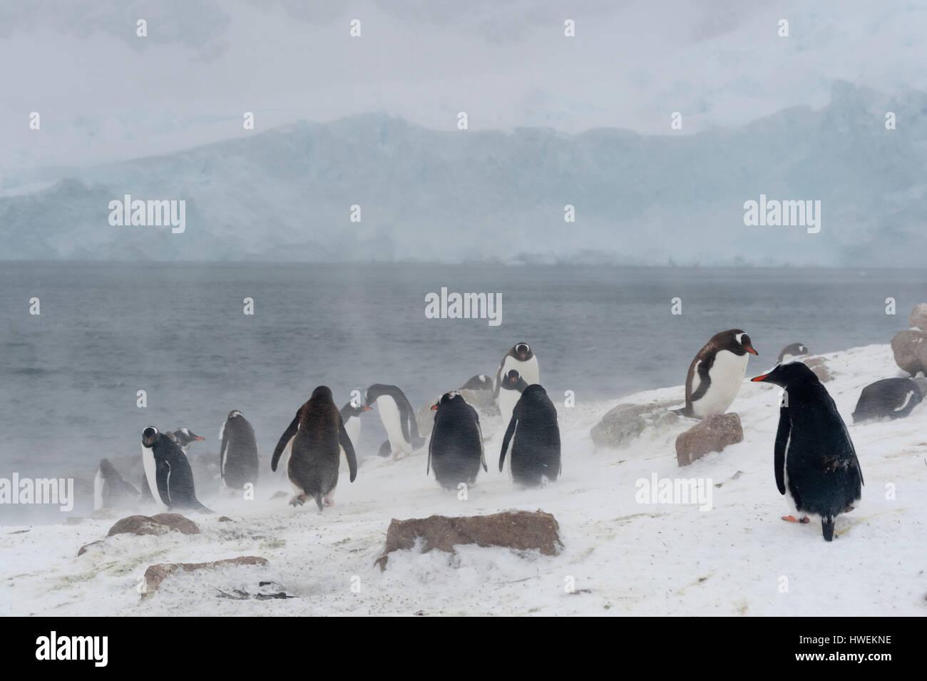 I pinguini di Gentoo (Pygoscelis papua), Neko Harbour, Antartide Foto Stock