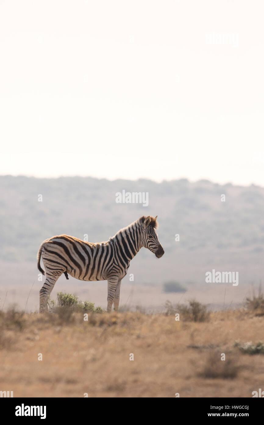 Zebra, Sud Africa, adulto, Equus quagga Immagini Stock