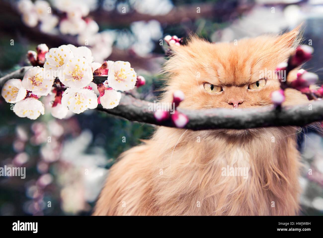 Gatto persiano con fioriture di primavera Immagini Stock