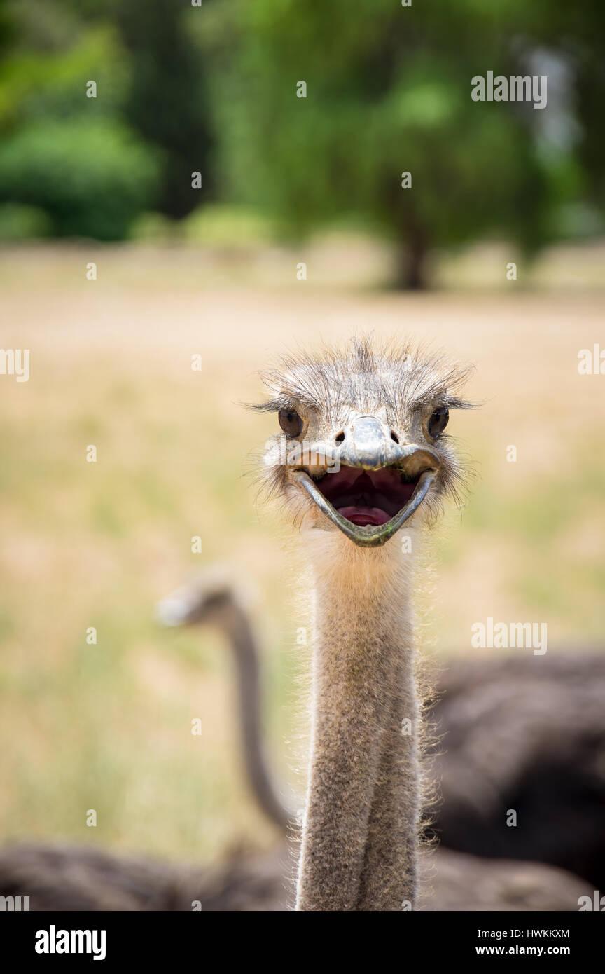 Curioso uccello struzzo ritratto da vicino Foto Stock