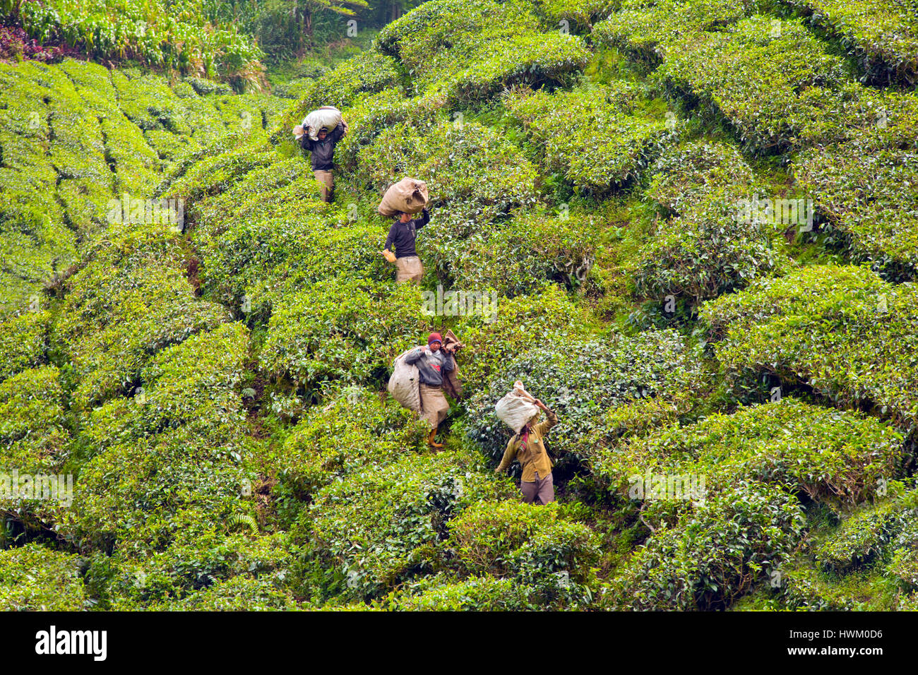 Cameron Highlands Boh piantagione di tè, Malaysia. Raccoglitori di tè che trasportano i giorni opportunita Immagini Stock