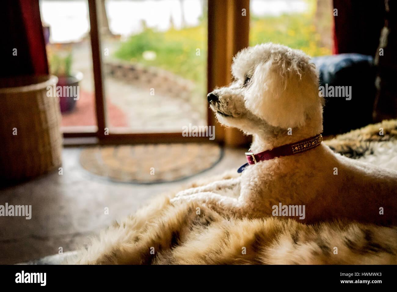 Un piccolo cane si siede con soddisfazione su un tappeto a pelo naturalmente in una stanza illuminata Immagini Stock
