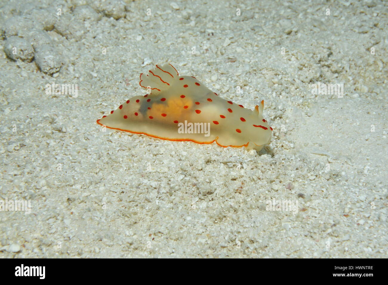 Sea slug con corpo traslucido, Gymnodoris ceylonica, subacquea su un fondale sabbioso nella laguna di Bora Bora, Immagini Stock