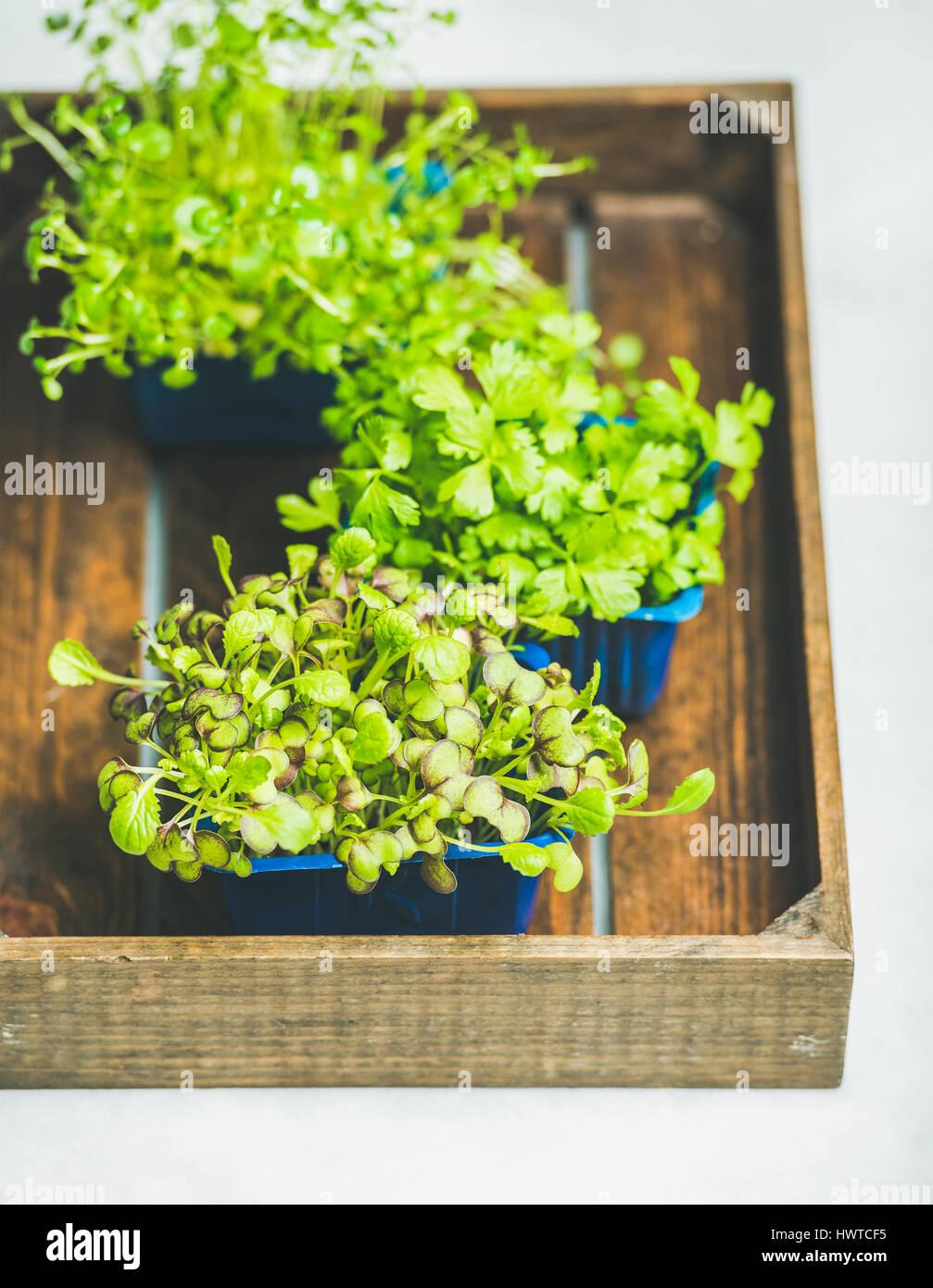 Il ravanello kress, acqua kress e coriandolo i germogli in scatola di legno Immagini Stock