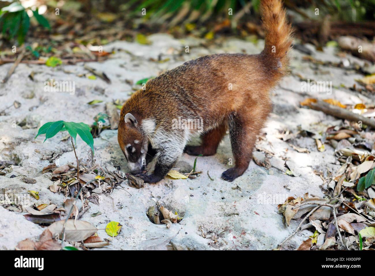 Coati animale vicino fino a Tulum, Messico Immagini Stock
