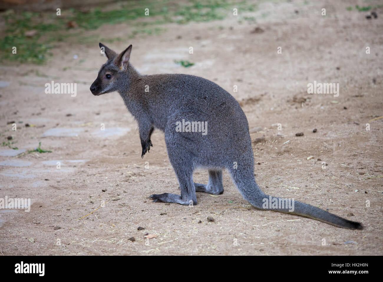 Rosso-un wallaby dal collo (Macropus rufogriseus, Bennett's wallaby) in lo Zoo di Barcellona, Spagna Immagini Stock