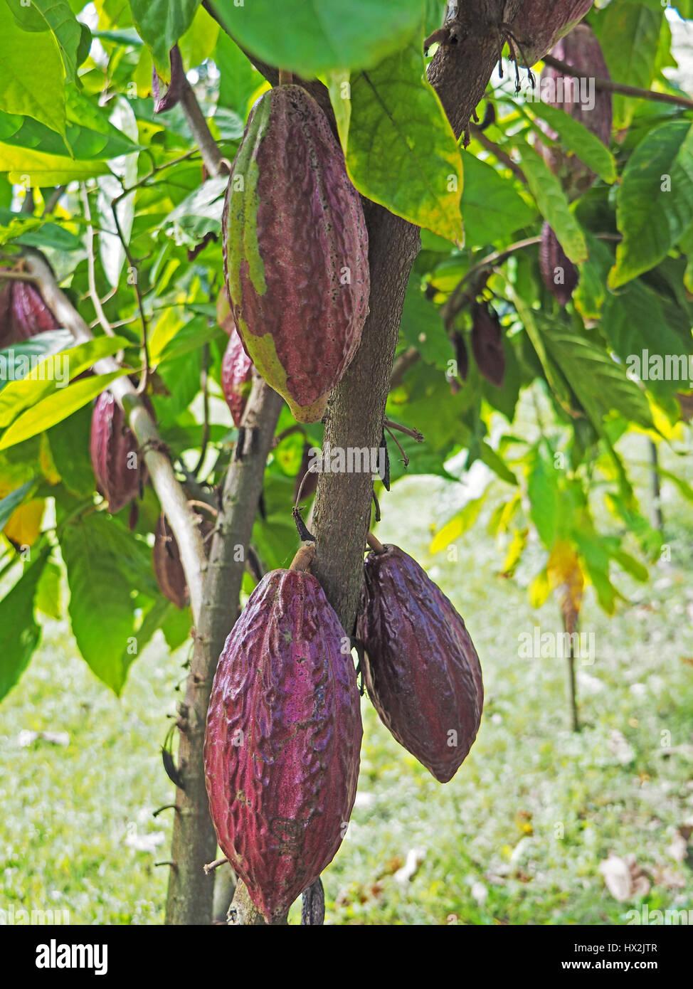 Viola cacao Cialde a donne cooperativa di cioccolato, Chocal, vicino a Puerto Plata, Repubblica Dominicana. Immagini Stock