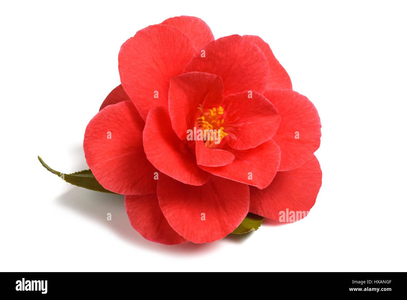 Red camellia flower isolati su sfondo bianco Immagini Stock