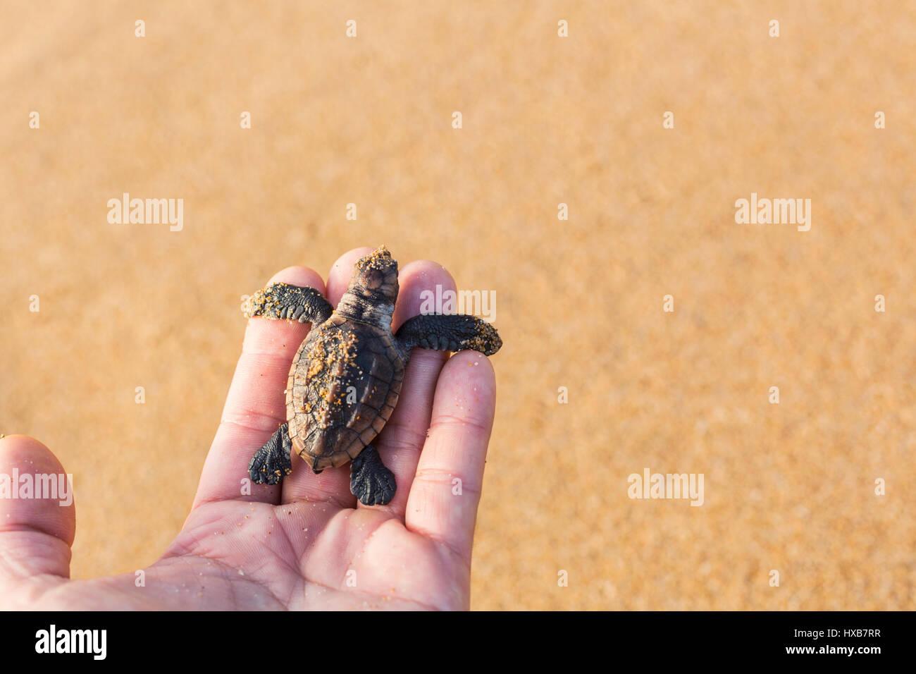 Baby tartaruga marina Caretta - Caretta) tenuto in mano di una persona. Mon Repos Conservation Park, Bundaberg, Foto Stock
