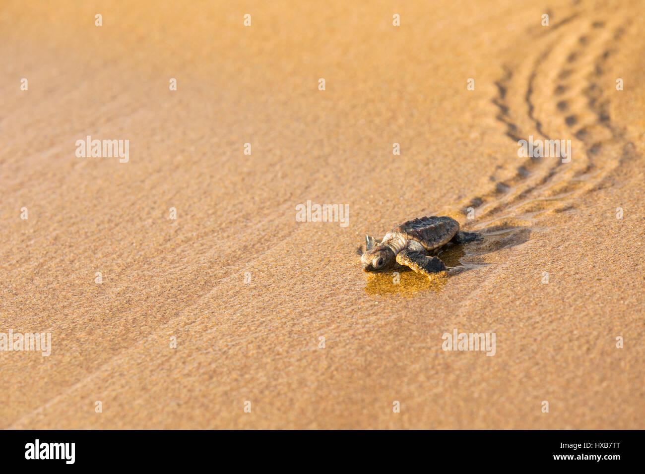 Baby tartaruga marina Caretta - Caretta) rendendo il suo viaggio verso il mare. Mon Repos Conservation Park, Bundaberg, Immagini Stock