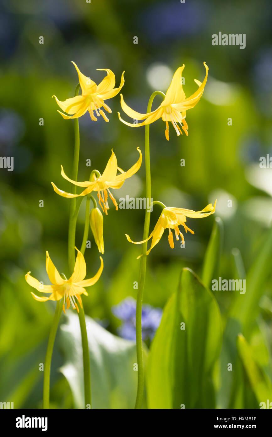 Molla di giallo dei fiori di trote lily, Erythronium tuolumnense Foto Stock