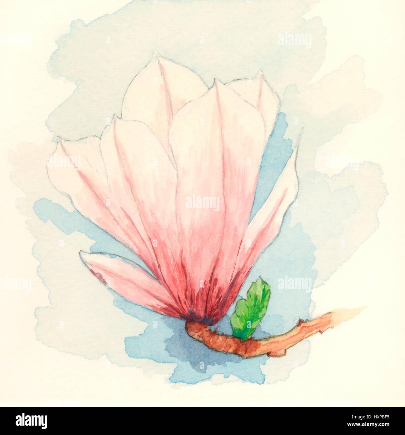 Piattino magnolia (x Magnolia soulangeana) fiore. Gouache dipinto su carta. Immagini Stock