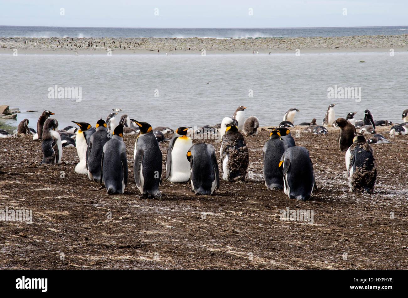 Pinguino reale - Aptenodytes patagonicus - colonia di pinguini re delle Isole Falkland Foto Stock