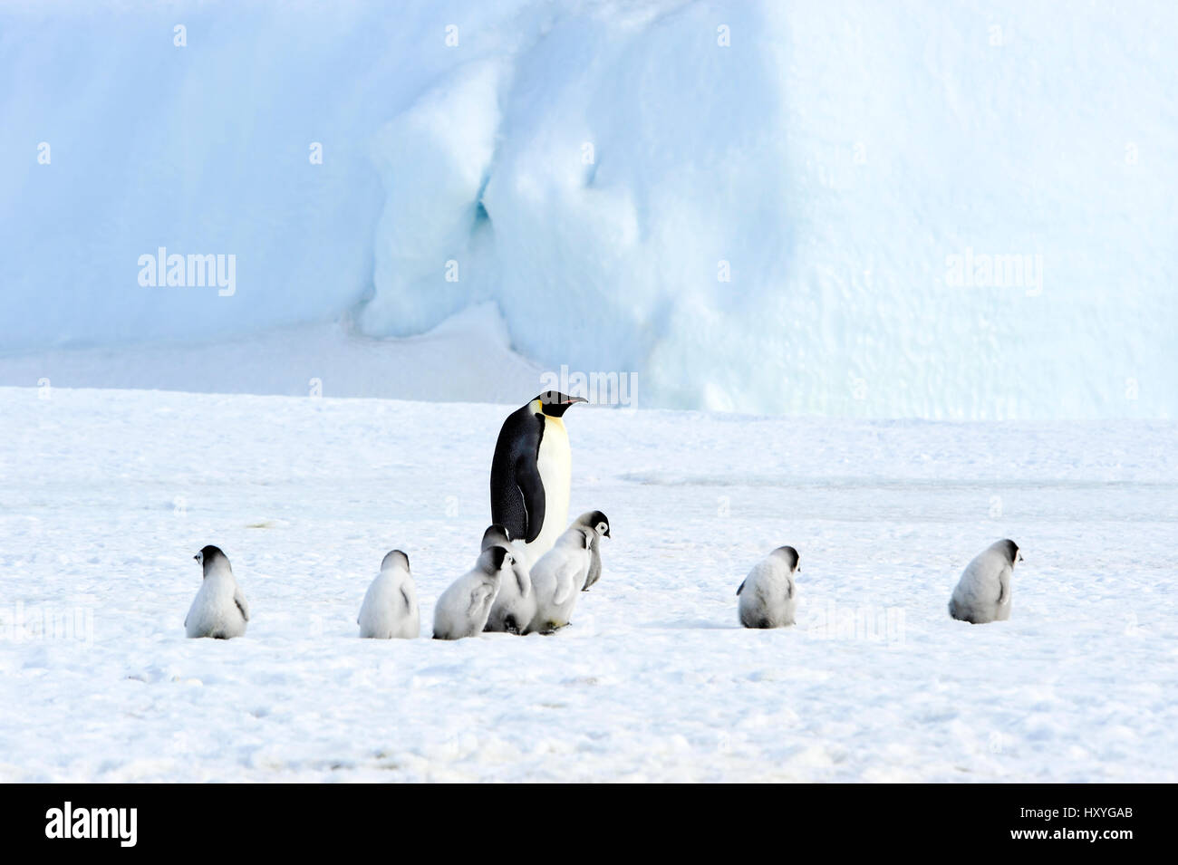Pinguini imperatore con pulcino Immagini Stock