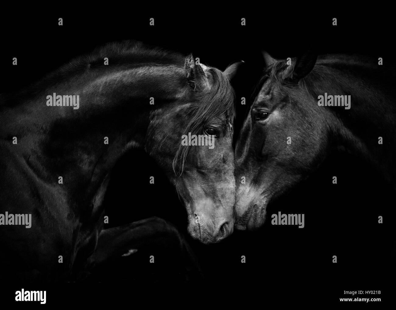 Ritratto di testa di nero andalusa di mare e stallone riuniti per la prima volta in Spagna, Europa. Immagini Stock