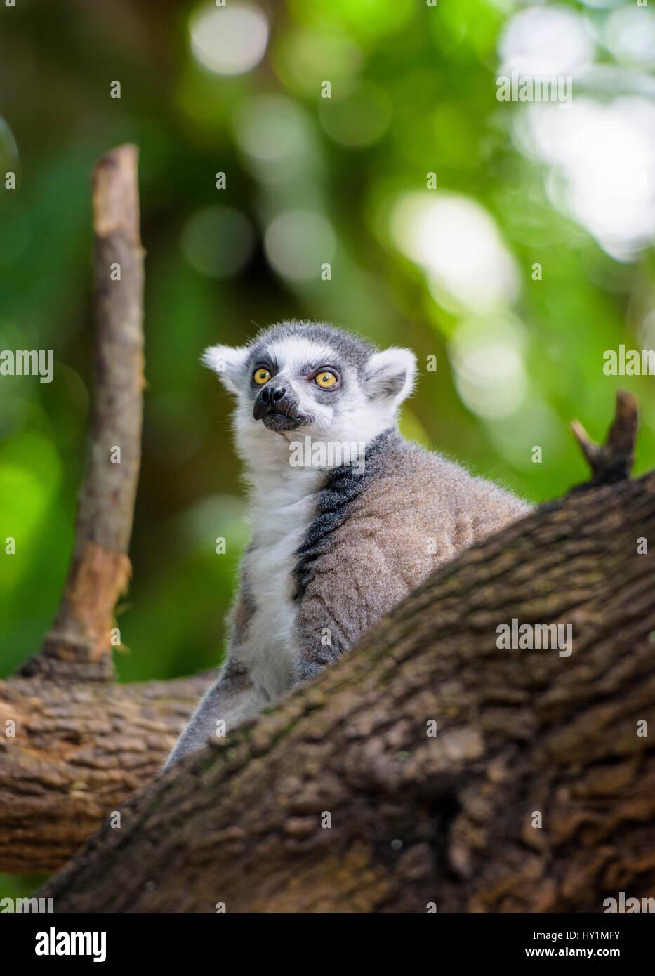 Anello-tailed lemur presso lo Zoo di Singapore, Singapore Immagini Stock
