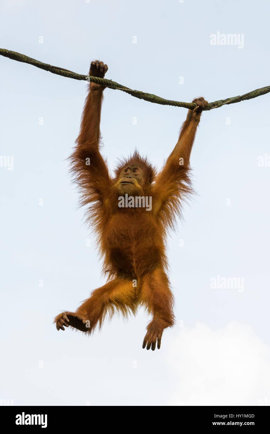 Orangutan oscilla da una corda in Free-Ranging orango presentano presso lo Zoo di Singapore, Singapore Immagini Stock