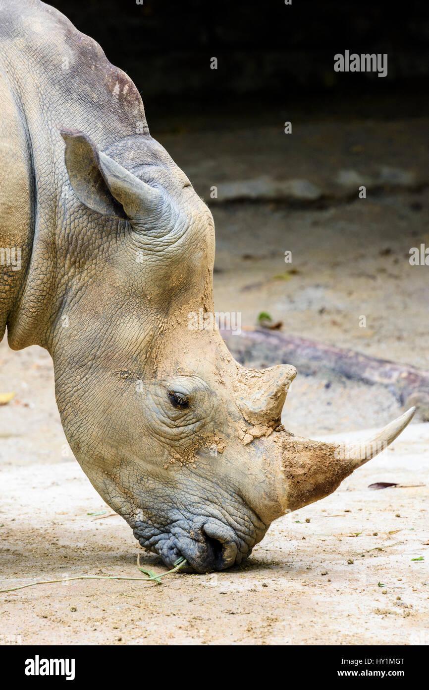 Rinoceronte bianco a Singapore Zoo, Singapore Immagini Stock