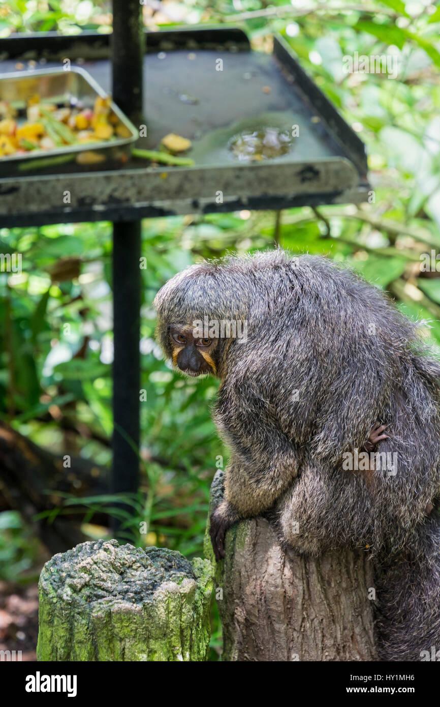 Una femmina di fronte bianco-saki monkey trasporta un bambino nella foresta Fragile biodome nel Giardino Zoologico Immagini Stock