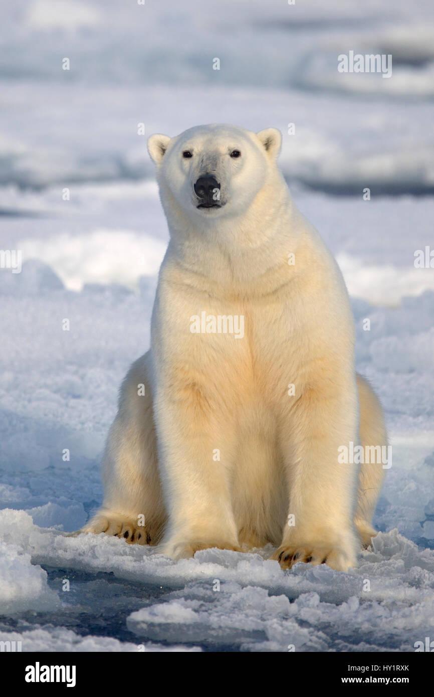 Orso polare (Ursus maritimus) seduti sulla banchisa, Svalbard, Norvegia, settembre 2009. Specie in via di estinzione. Immagini Stock