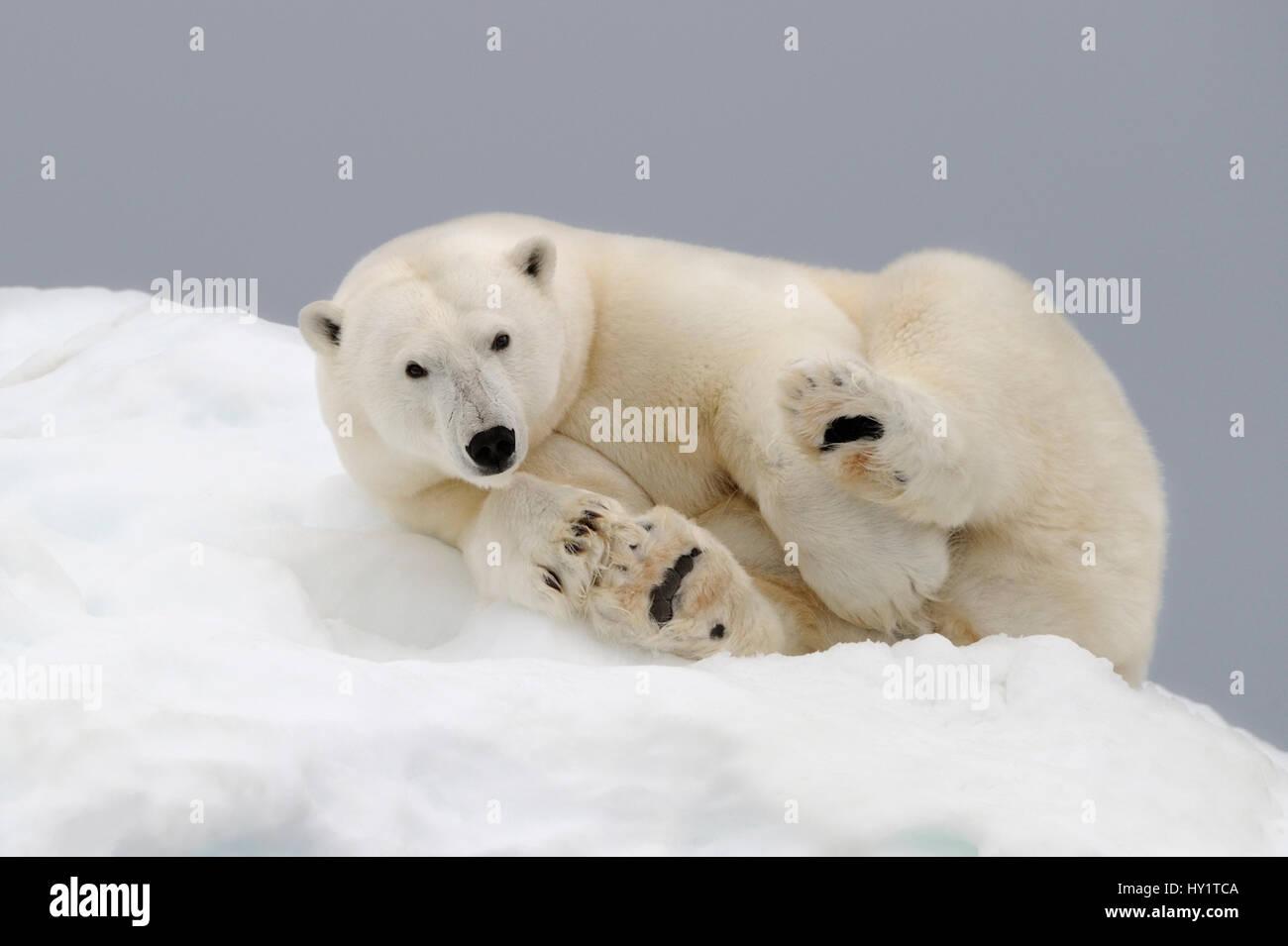 Orso polare (Ursus maritimus) appoggiato su ghiaccio. Svalbard, Norvegia. Specie in via di estinzione. Foto Stock