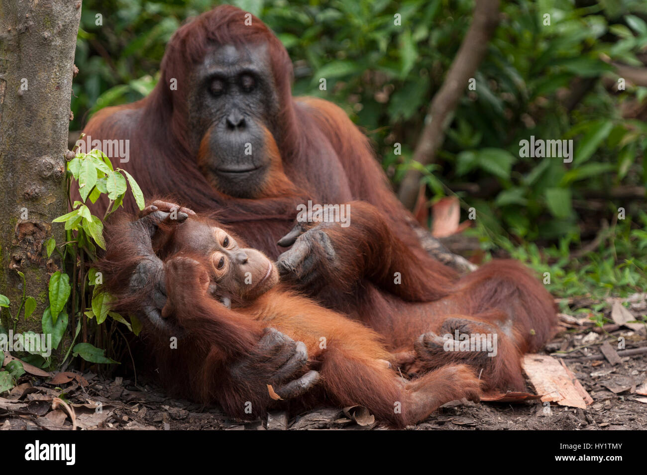 Bornean Orangutan (Pongo pygmaeus wurmbii) la madre e il bambino, Tanjung messa National Park, Borneo Kalimantan Immagini Stock