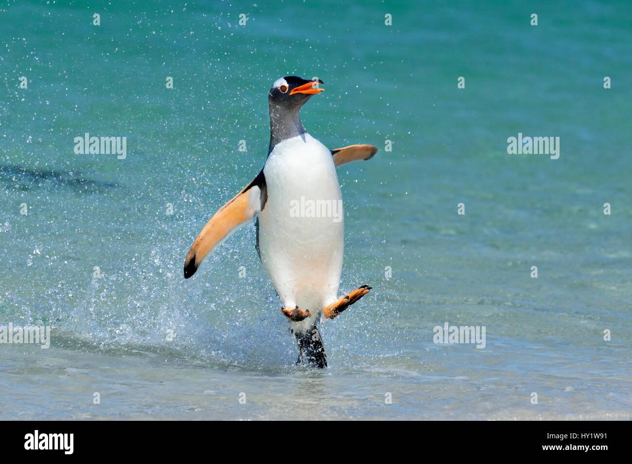 Pinguino Gentoo (Pygoscelis papua) salta sulla spiaggia, Isola di carcassa, Isole Falkland. Immagini Stock
