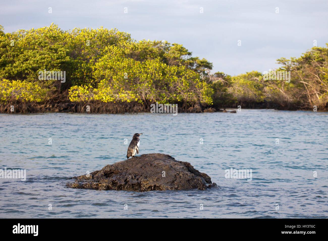 Le Galapagos Penguin (Spheniscus mendiculus) costiera e la foresta di mangrovie in corrispondenza di un marine Galapagos Immagini Stock