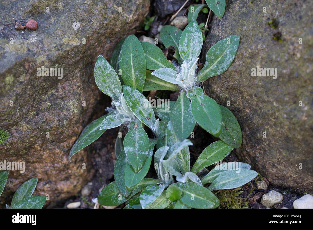 Berg-Flockenblume, Bergflockenblume, Blatt, Blätter, Blattrosette, Centaurea montana, perenne, fiordaliso fiordaliso Immagini Stock