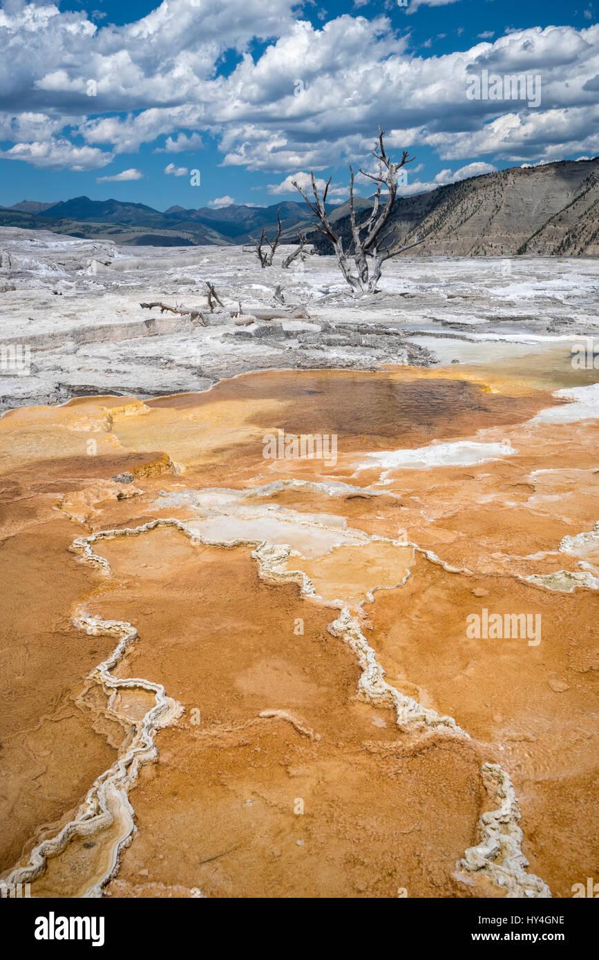 Molla Canarie a Mammoth Hot Springs terrazza superiore, il Parco Nazionale di Yellowstone, Wyoming. Immagini Stock
