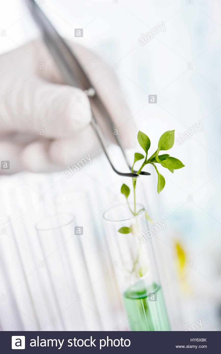La ricerca nel campo della biotecnologia. Vivaio Coltivazione in laboratorio in fase di sperimentazione Immagini Stock