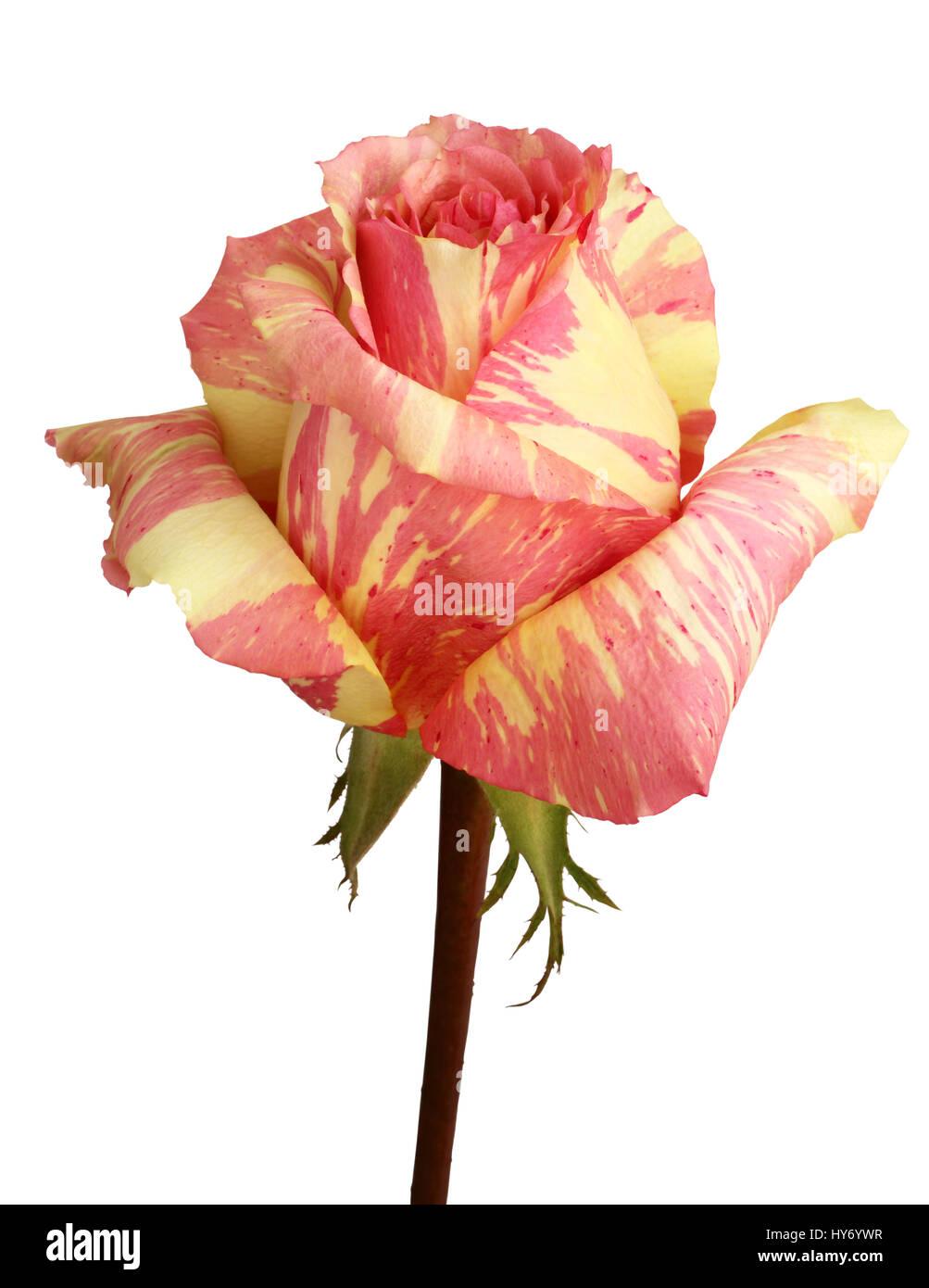 Rosa Con Marmo Giallo Rosa Su Sfondo Bianco Foto Immagine Stock